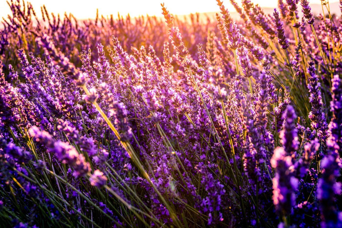 HealthHack #8: Lavendel bei Schlafstörungen – Hilft das wirklich?